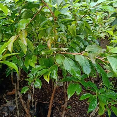 Hình ảnh cây giống mận tam hoa tại vườn Hải Đăng