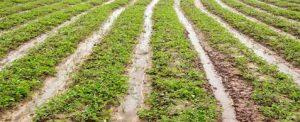 Ruộng trồng kim tiền thảo