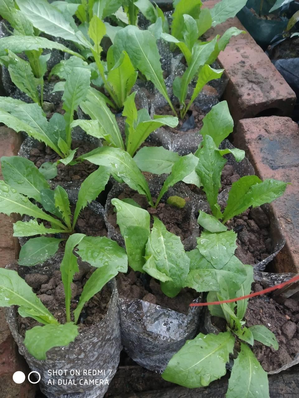 Bồ công anh khỏe dễ trồng