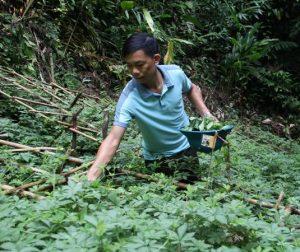 Quy trình đặt hàng cây giống giảo cổ lam