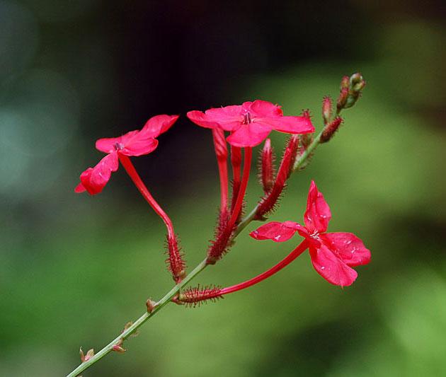 Xích hoa xà giống giá rẻ uy tín lâu năm đảm bảo chất lượng tốt ở Hà Nội