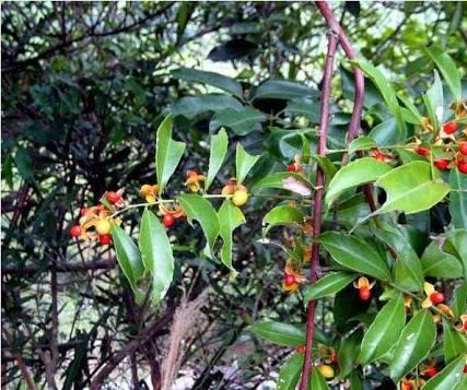 Hình ảnh cây mắc khén