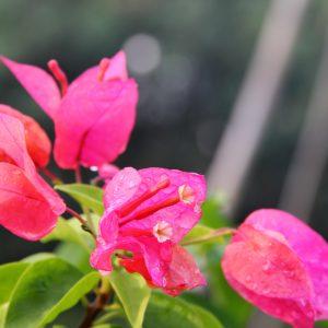 Hình ảnh Loài Bougainvillea Glabra