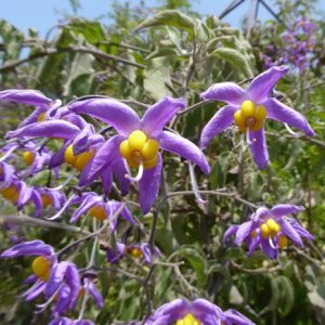 Cận Cảnh Solanum Seaforthianum