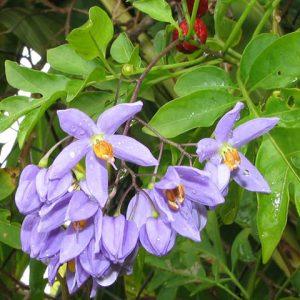 Solanum Seaforthianum đẹp