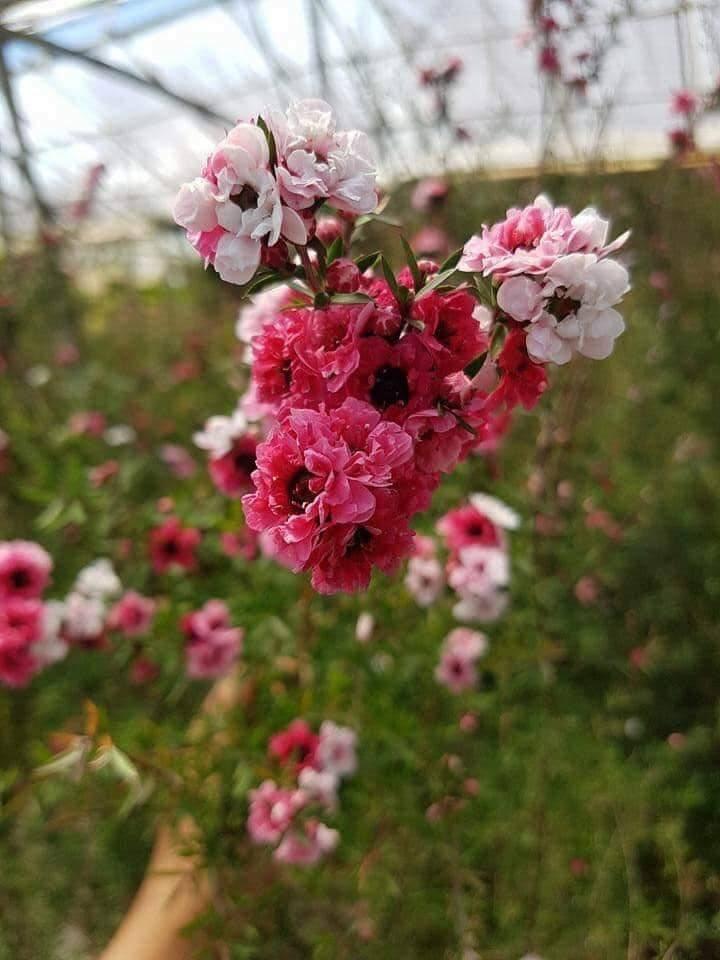 Hoa rất bền
