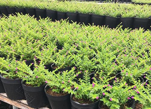 Cách Trồng Cuphea Hyssopifolia. Nguồn Cây Xanh Gia Nguyễn
