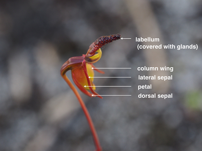 Chú Thích Các Thành Phần Hoa Của Loài Caleana Nigrita