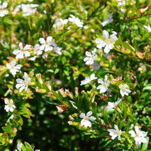 Cuphea Hyssopifolia đẹp