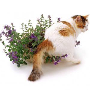 Ảnh Hưởng Của Catnip đến Loài Mèo