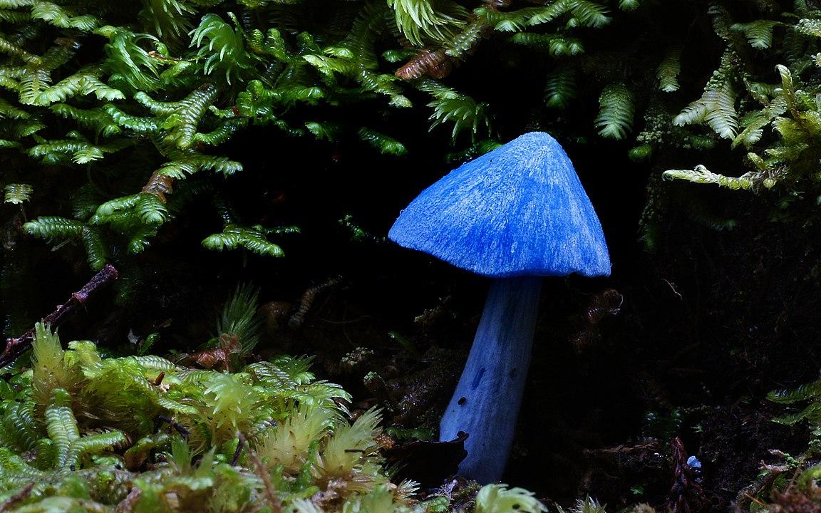 Hình ảnh Cho Loài Entoloma Hochstetteri