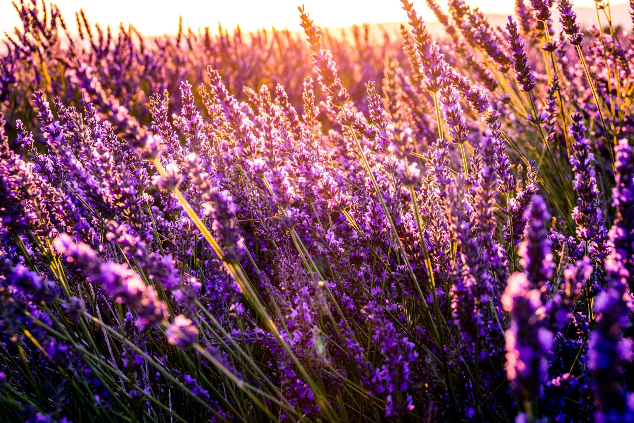 Lavender © Léonard Cotte/unsplash
