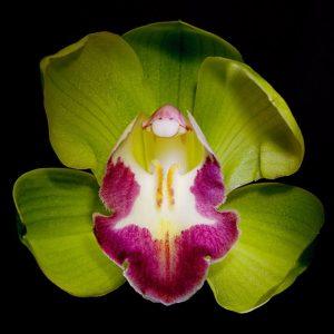 Shenzhen Nongke Orchid Loài Hoa đắt Nhất Thế Giới