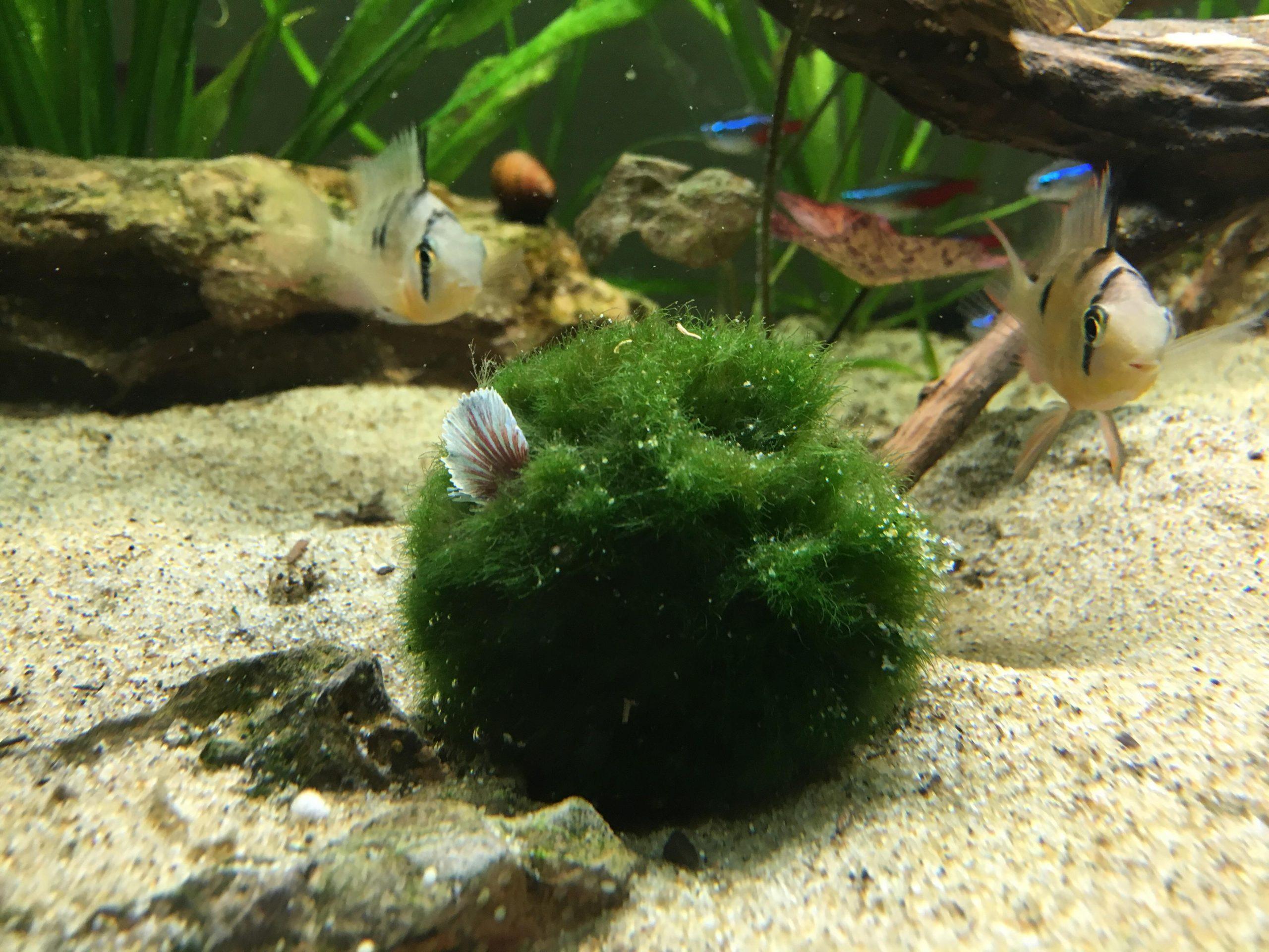 Marimo Nhân Tạo Trong Bể Cá