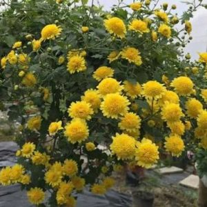 Hoa cúc rủ vàng
