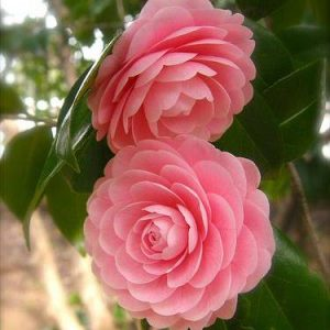 Cây giống hoa trà my