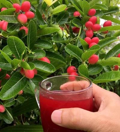 Nước uống giải khát từ cây si rô