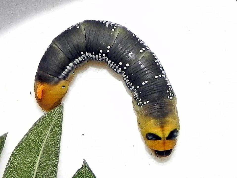 958px Oleander Hawk Moth Caterpillar Just Before Pupation