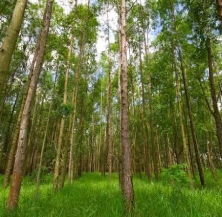 Cây bạch đàn lấy gỗ cho giá trị kinh tế cao