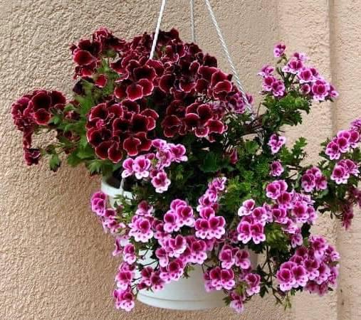 Chậu hoa hoa phong nữ mắt thần treo