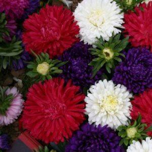 Cúc thúy có nhiều màu phong phú