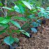 Hình ảnh cây húng vịt