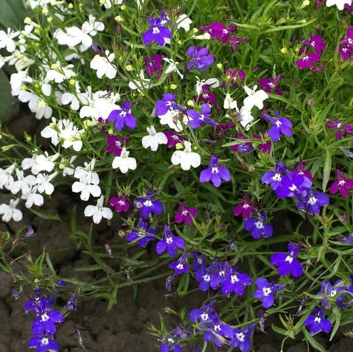 Hoa cúc Lobelia nhiều màu