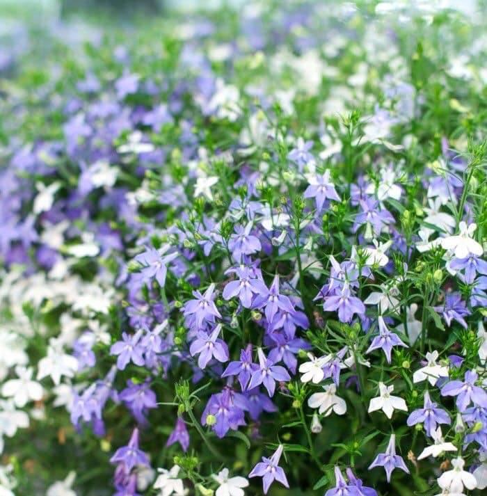 Hoa cúc Lobelia