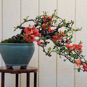 Hoa mai đỏ tạo thế rất đẹp