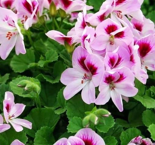 Hoa phong nữ mắt thần rực rỡ