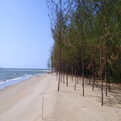 Phi Lao trồng ven biển