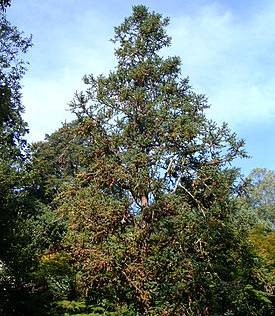Hình ảnh cây sa mộc