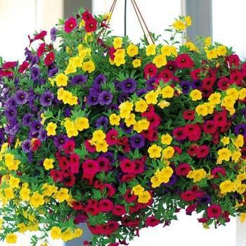 Hoa triệu chuông có nhiều màu sắc rực rỡ