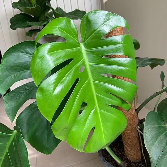 540px New Monstera Deliciosa Leaf (1)